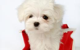 Maltese puppy wallpaper 166