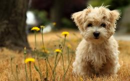 Cute Maltese Dog Wallpapers Pictures Photos Images 1271