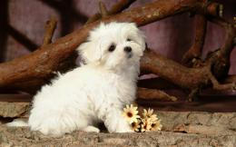 maltese dog awesome photo maltese dog image maltese dog pictures 1517