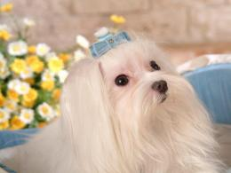 Dogs Maltese Dogs wallpaper 1748