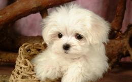 maltese puppy cute maltese puppy dog maltese dog awesome photo maltese 298
