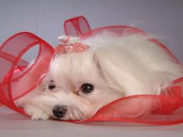 Dogs Maltese Dogs wallpaper 1742