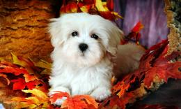 Maltese Dog Wallpapers Looks Cute 1588