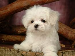 Fluffy Maltese Puppy DogsWhite Maltese Puppies wallpapers 1024*768 663