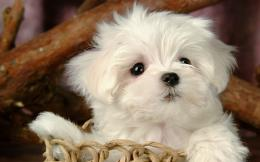 Fluffy Maltese Puppy DogsWhite Maltese Puppies wallpapers 1920*1200 110