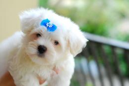 Maltese dog with a blue bow wallpaper 1723