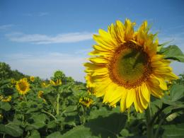 Sunflowers Nature 1264