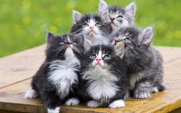 Norwegian Forest Cat Wallpaper 370