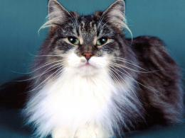 Norwegian Forest Cat Wallpaper 1117