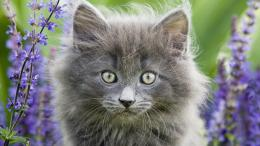 norwegian forest cat high definition wallpapers cool desktop 1494
