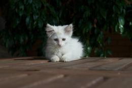 Norwegian Forest Cat Kitten White 811