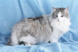 Norwegian Forest Cat Wallpaper 300