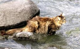 norwegian forest cat new hd wallpaper norwegian forest cat new 122
