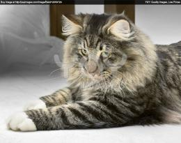 norwegian forest cat wallpaper royalty free image of norwegian forest 507