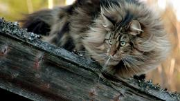 Norwegian Forest Cat on a log wallpaper 1587