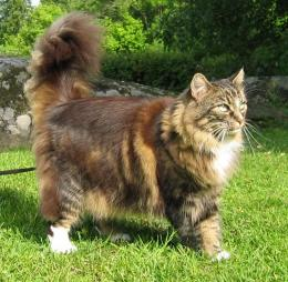 Norwegian Forest Cat Wallpaper 1120