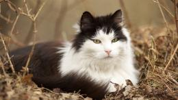 Norwegian Forest Cat Wallpapers HDAnimals 1390