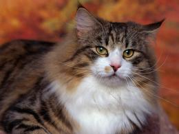 Free Norwegian Forest Cat Wallpaper 1543