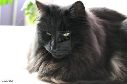 Norwegian Forest Cat 590