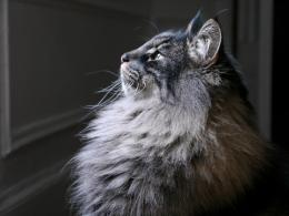Norwegian Forest Cat Wallpaper 170