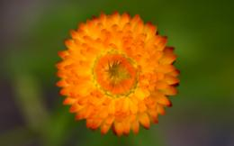 A1 orange flower wallpaper 7 301