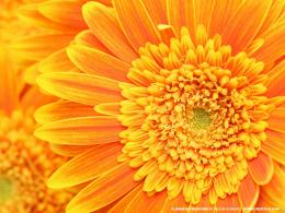 orange flowers wallpaper orange flowers wallpaper orange flowers 1995