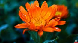 Amazing Nature Orange Flower HD Wallpaper 388