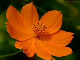 orange flowers wallpaper orange flowers wallpaper orange flowers 747