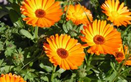 flowers wallpapers wallpaper animated orange 267