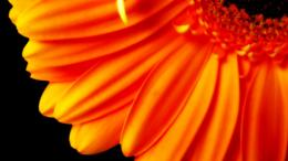 Pure Orange Flower 1080p 180