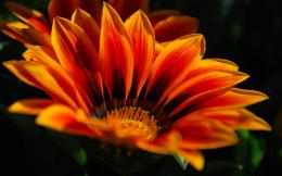 Orange flower hd Wallpapers Pictures Photos Images 1697