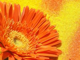 Orange flower desktop wallpaper 677