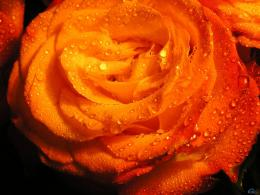 Orange Flowers Wallpapers 1600 x 1200 469