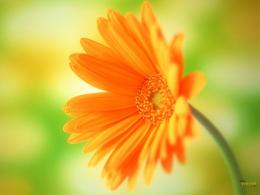 orange flower wallpaper 1600x1200 more wallpapers nature wallpapers 575