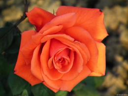 Orange Rose Flower Wallpaper 651