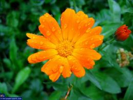 orange flowersWallpapers Wallpaper 1029