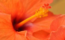 Orange Hibiscus Flower 920