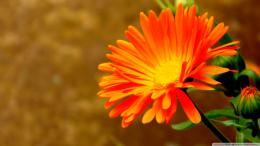 wallpaper flower orange flowers images 1920x1080 884
