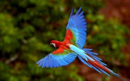 HD animal wallpaper of a blue with red parrot flying | Parrot 1665