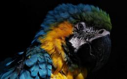 Parrot Wallpapers 1543