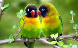 Parrot Love Wallpape 110