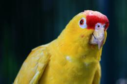 Yellow Parrot Hd wallpapers 2012 782
