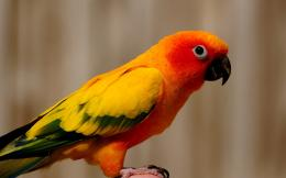 HD animal wallpaper with the picture orange yellow parrot | HD parrots 1764