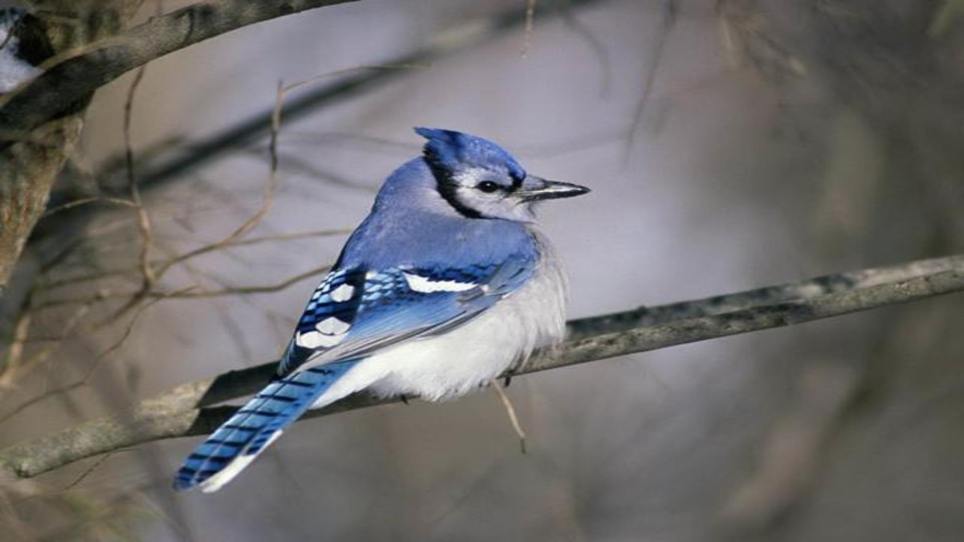 Blue Jay Cyanocitta cristata passerine bird in the family Corvidae 631