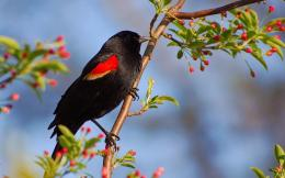 Red winged Blackbird HD Wallpapers 644