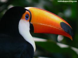 Toucan Pics & Wallpapers for our visitors 430