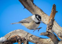 titmice constitute Paridae, a large family of small passerine birds 1472