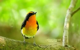 Male Narcissus Flycatcher PictureGorgeous Passerine bird Photo 961