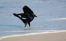 hd wallpapers grackle hd wallpapers grackle hd wallpapers grackle hd 910