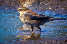 Rusty Blackbird Pictures 1254